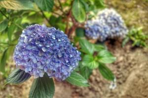 Flower HDR